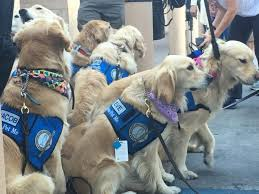 Comfort Golden These Very Good Dogs Are Comforting The Survivors Of The Deadly