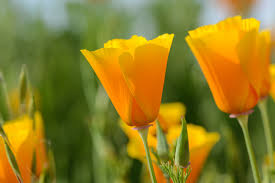 California Poppy California Poppy Cup Of Gold U2014 Charis Lindrooth