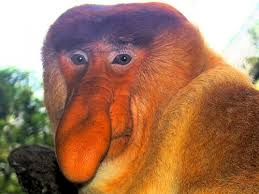 Big Nose Meme - create meme monkey with big nose monkey with big nose proboscis
