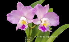 Orchids Care Cattleya Orchids Pictures Indoor Orchid Care Tips