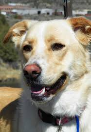 australian shepherd yellow pet of the week