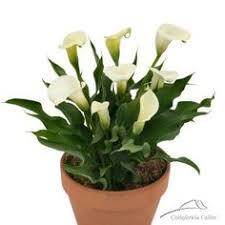calla bulbs green goddess calla bulbs buy garden plants online