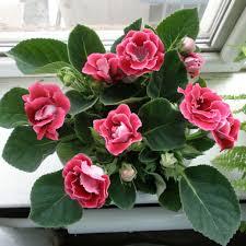 Indoor Flowering Plants by Pink Flowering Windowsill Plant Choosing The Flowering Indoor