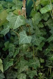 nugget ornamental golden hops humulus lupulus nugget at