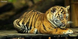 update tarongas three tiger cubs a penchant for mischief