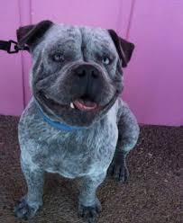 blue heeler x australian shepherd bulldog x australian cattle dog u003d cattlebull 20 of the coolest
