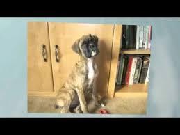 1 year old boxer dog my boxer dog roscoe u0027s 1 year old youtube