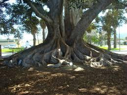 moreton bay fig in big tree park in glendora