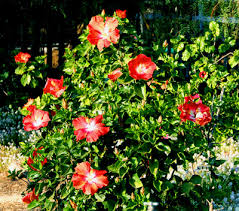 Which State Has A Hibiscus by Hidden Valley Hibiscus Pruning Hibiscus