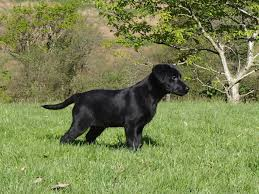 australian shepherd 14 weeks 14 week old black labrador dog for sale swansea swansea