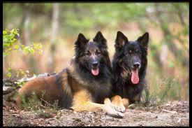 belgian sheepdog puppy cost belgian sheepherd dog german belgian shepherd dogs free