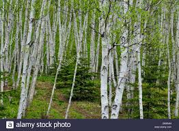 white birch woodland with spruce trees greater sudbury ontario