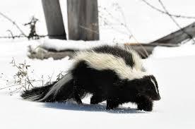 striped skunk wikipedia