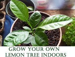 easy plants grow your own lemon tree out of store bought lemons in 11 easy steps