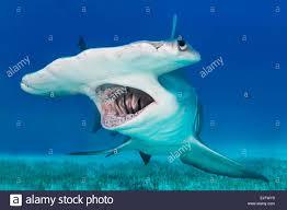 great hammerhead shark sphyrna mokarran bimini bahamas stock