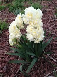 best 25 bulbous plants ideas on pinterest unique flowers
