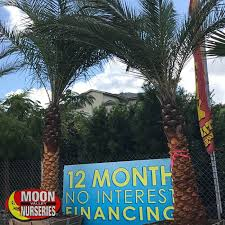 sylvester date palm tree sylvester date palm palm tree moon valley nurseries