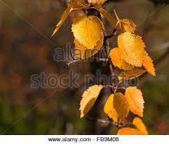 colorful autumn leaves birches betula pubescens