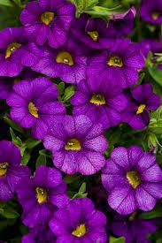 blue and purple flowers superbells blue calibrachoa hybrid proven winners