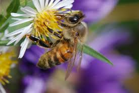 social wasps and bees in the upper midwest insects university