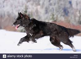 belgian sheepdog breeds belgian shepherd dog groenendael black running on snow