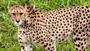 cheetah dies at the jacksonville zoo st augustine record