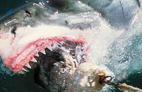 sharks western australia tries to reduce attacks