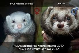 Ferret Meme - ferret kennel bullberg home facebook