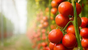 light requirements for growing tomatoes indoors using led grow lights for indoor vegetable gardening