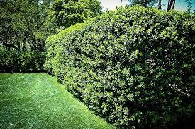 nellie stevens holly tree center