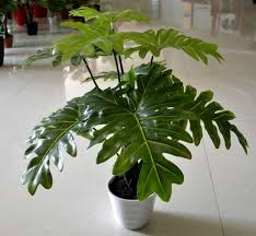 best indoor plants for low light tall indoor plants low light the best trees on large house for of