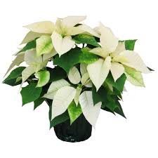 white poinsettia festive white poinsettia plant delivered to you by clare florist