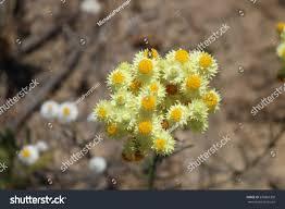 australian native plant waitzia nitida australian native plant belonging stock photo