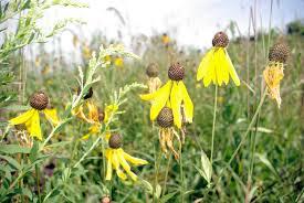 native prairie plants burnsville mn official website begin a native planting