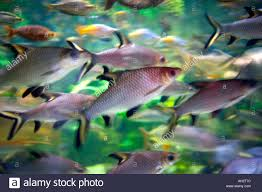 tri colour fish red rainbow fish south america stock photo