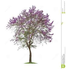 isolated bungor tree or tabak tree with purple flowers on white