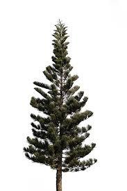 fresh pine trees isolated on white background domain free