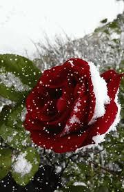 imagenes de amor con rosas animadas gifs animados rosas de color rojo 1000 gifs los mejores gifs