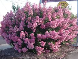 Lilca by Dwarf Standard Lilac Really A Shrub But Thought I Would Also