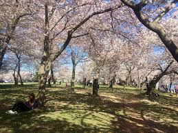 spring unfurls in washington dc at the national cherry blossom
