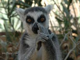 Lemur Meme - lemur meme 28 images ring tailed lemur humor 16 wild animals