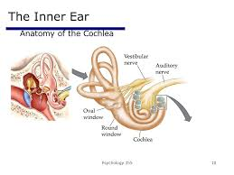 Inner Ear Anatomy And Physiology The Auditory U0026 Vestibular Systems Ppt Video Online Download