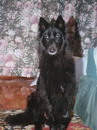 belgian shepherd 4 types belgian shepherd dog breed pictures 1