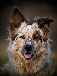 4 australian shepherd x dalmation best 25 border collie ideas on pinterest border collie puppies