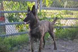 belgian malinois for sale puppies for sale belgian malinois breeder