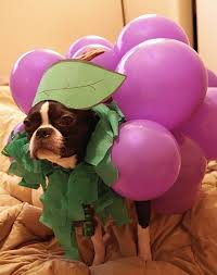 Halloween Grape Costume 50 Wicked Adorable Pictures Boston Terriers Small Dog