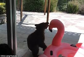 Youtube Backyard Fights Bear Cub Wrestles Inflatable Flamingo Pool Toy Daily Mail Online