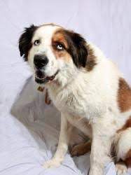 australian shepherd weight i found daisy on bernard dog