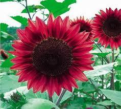 gardening ornamental flower seeds sunflower seeds for growing