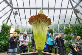 what makes the corpse flower stink so bad